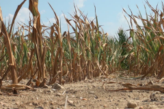 dried-maize-climate-change